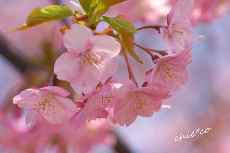 三浦海岸~河津桜-100