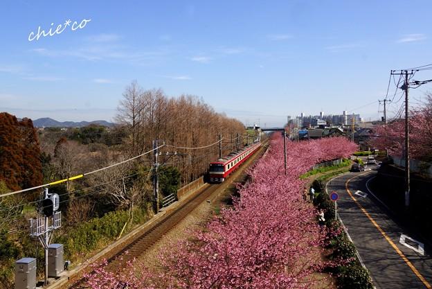 三浦海岸~河津桜-063