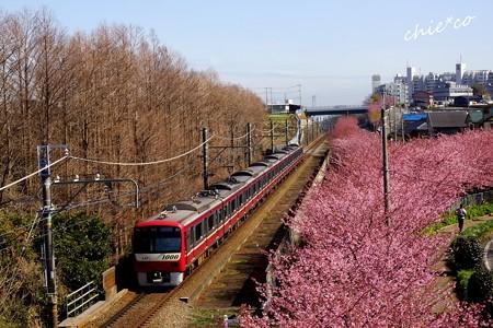三浦海岸~河津桜-073