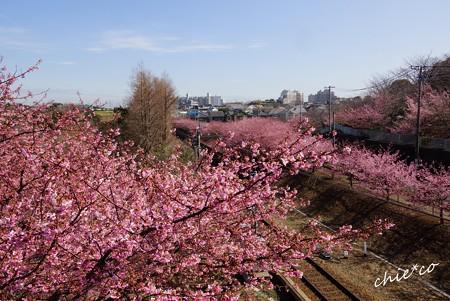 三浦海岸~河津桜-074