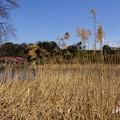 写真: 三浦海岸~河津桜-119