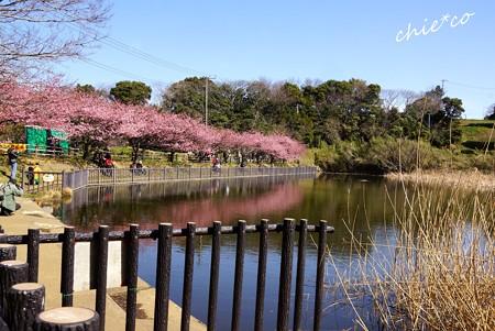 三浦海岸~河津桜-133