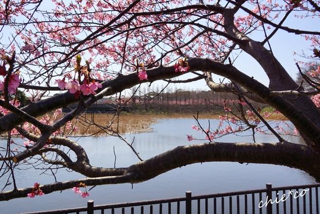 三浦海岸~河津桜-154