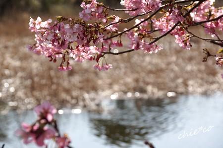 三浦海岸~河津桜-155