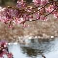 写真: 三浦海岸~河津桜-155