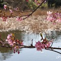 写真: 三浦海岸~河津桜-157