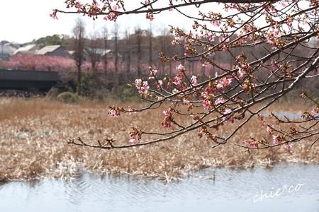 三浦海岸~河津桜-184