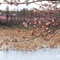 写真: 三浦海岸~河津桜-184