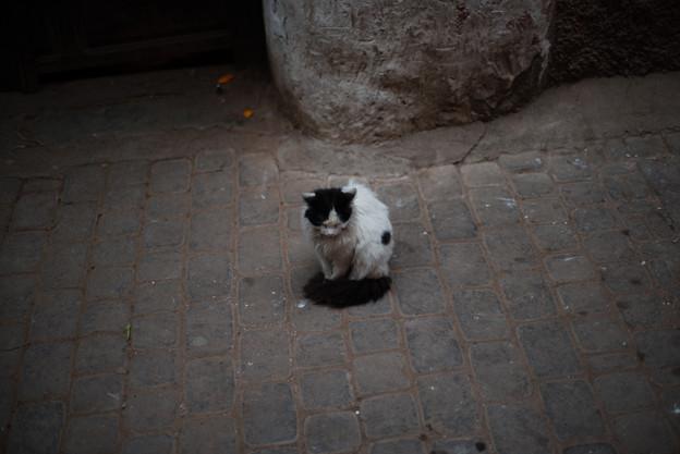 モロッコキャット