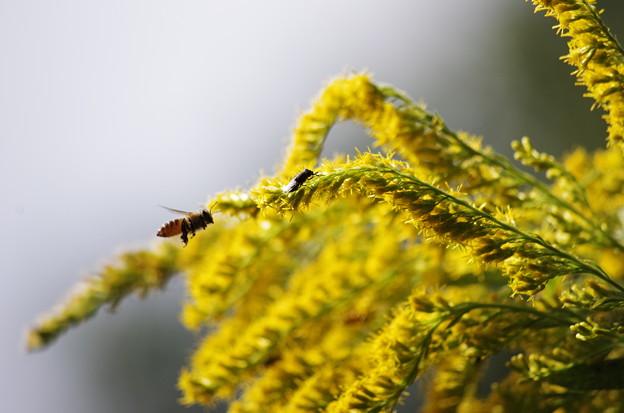 セイタカアワダチソウとミツバチとツマグロキンバエ