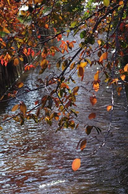 玉串川の桜 1