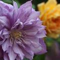 Photos: 5.15クエマチス紫八重5