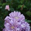 Photos: 5.15クエマチス紫八重3