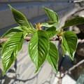 ド根性葉桜