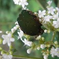 オトコエシ(男郎花)の花に・・・