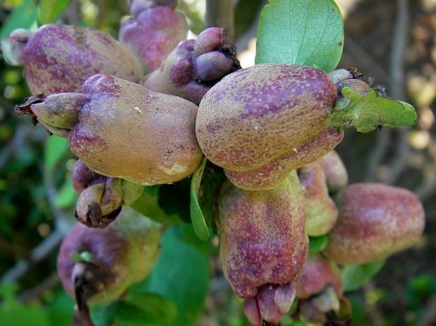 風雨で傷んだ花梨の実