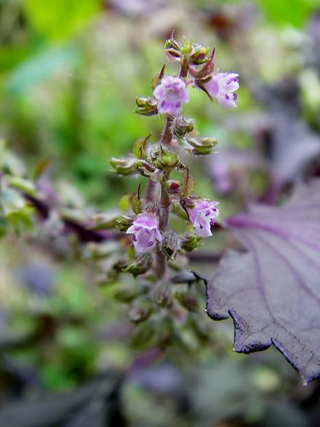紫蘇の花と実