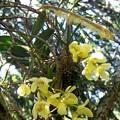 萱ランの花