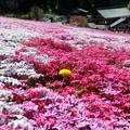 明宝の芝桜? ?