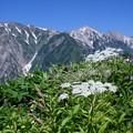 お花の向こうに白馬三山