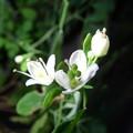 庭に咲いてるマツカゼソウ