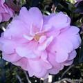 八重の山茶花