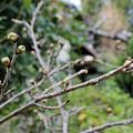 桜の花芽が膨らんだ