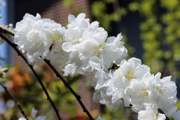 枝垂れ桃(白)