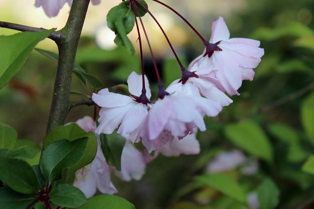 桜みたいでしょっ!