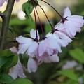 Photos: 桜みたいでしょっ!