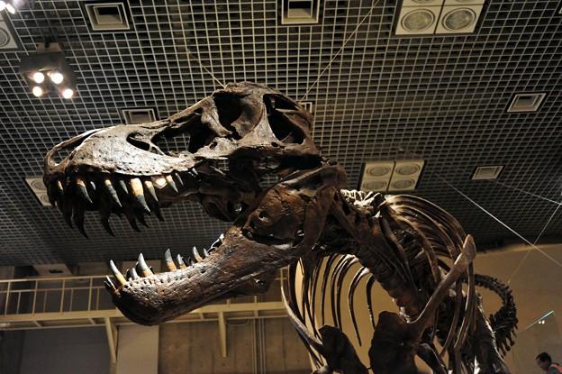 写真: 科博のティラノの標本
