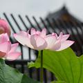 Photos: お寺のハス3