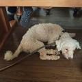 Photos: 机の下で眠る