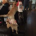 Photos: 中型犬と大型犬の遊びのはじまり~