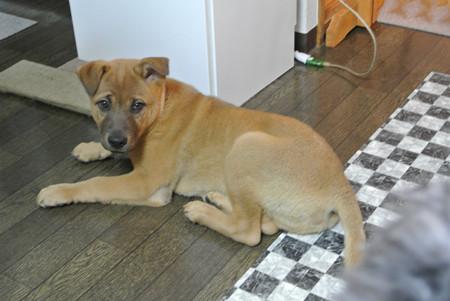 3ヶ月で8キロ超えのデカイ子犬です