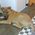 Photos: 3ヶ月で8キロ超えのデカイ子犬です