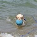 Photos: 水を含んだ重いボールを運ぶ紫音