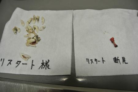 ラプスの歯と尻尾の骨