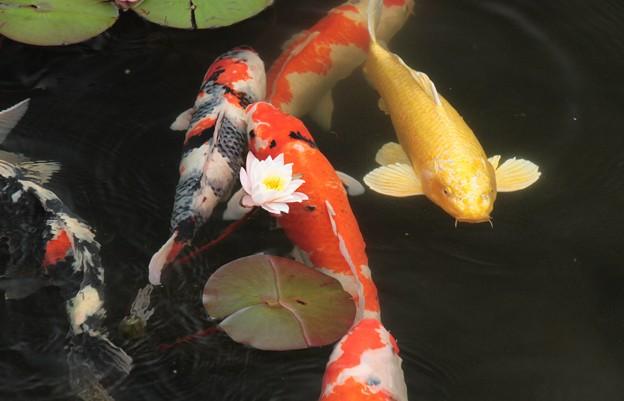 スイレンと鯉