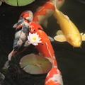写真: スイレンと鯉
