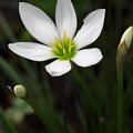 Photos: 美しい白い花