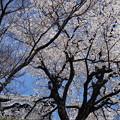 写真: 桜越しの天守閣