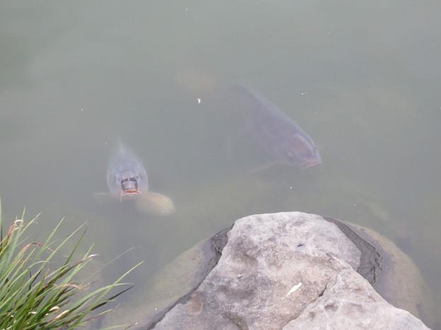 清澄庭園の池の鯉