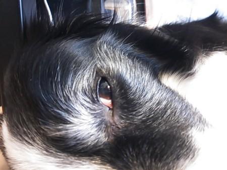 白眼剥いていい夢見てるClip 嬢。年相応に白内障。年寄り犬はボボブラジル百パーセント白内障っす。2