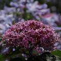 Photos: クサキの花!