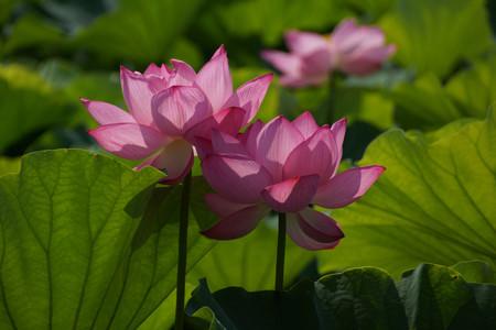 2蓮の花0729b