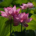 写真: 2蓮の花0729b