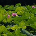 写真: 3蓮の葉っぱ0729c