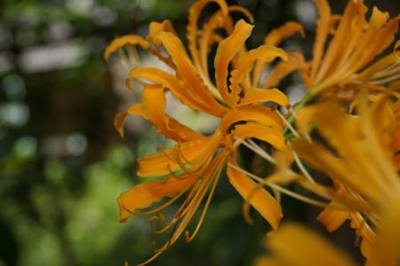 オレンジ色のリコリスの花!