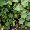 Photos: 野葡萄が翡翠色に!